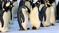 لحظه تولد بچه پنگوئن های امپراطور