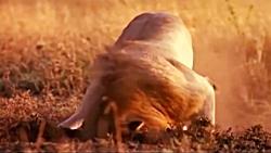 شکار وحشیانه بچه کفتار توسط شیر نر