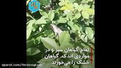 علت و چرایی هجوم ملخ های صحرایی به ایران از منظر اساتید دانشگاه فردوسی مشهد