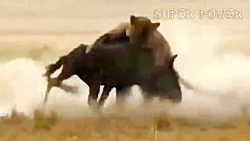 حمله های دیدنی شیر، ببر و خرس به حیوانات در حیات وحش
