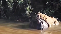 حمله و نبرد شیرها با حیوانات عظیم الجثه حیات وحش