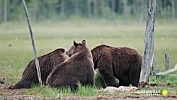 تلاش گرگ ها برای دزدیدن غذای خرس ها