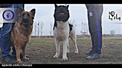 سگ هرکول آکیتا سگ گله و گارد