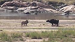 جنگ و جدال شیر با بوفالو