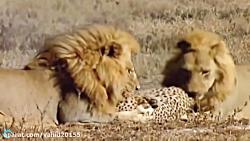 نبرد شیر و یوزپلنگ در حیات وحش بر سر شکار بز کوهی