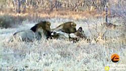 جنگ و نبرد حیوانات و شیرها در حیات وحش