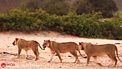 نبرد شیر با گراز و زرافه در حیات وحش
