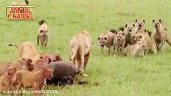 نبرد گروهی از کفتارها با شیرها در حیات وحش