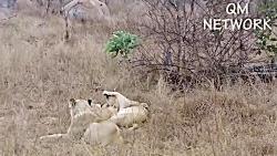 شیر شاه هیتنا را بر روی درخت نابود می کند تا شیر شیر را حفظ کند - قدرت شیر شاه