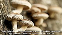 پرورش قارچ در ژاپن : مزرعه قارچ