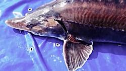 ماهی خاویار چطور تولید میشه - پرورش ماهی استورژن