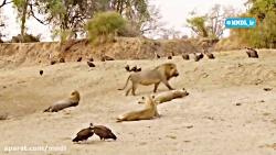 مستند شکارچیان آفریقا با دوبله فارسی - قسمت 3
