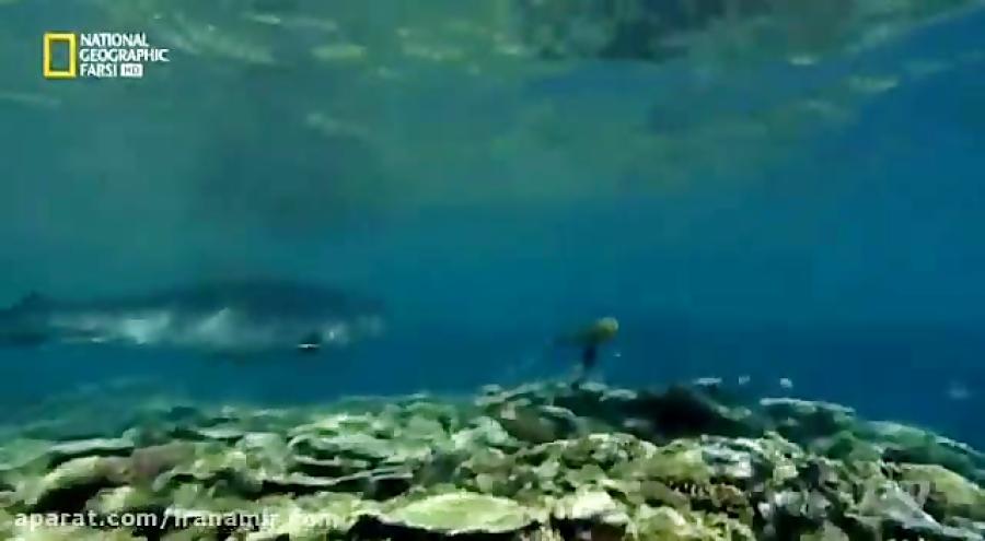 #حیات_وحش تراژدی لاکپشت آبی در برابر کوسه ببری شکارچی مرگبار دریا