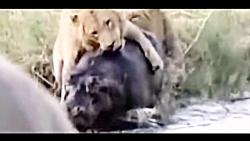 حمله و نبرد شیرها در حیات وحش