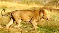 جنگ و نبرد کفتارهای قاتل با شیرها