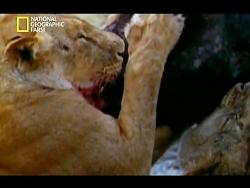 فیلم بیرحمی و شکار ، توسط دسته ای از شیرها ی گرسنه