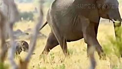 جنگ و نبرد شیرها با فیل