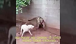 جنگ و نبرد بین سگ و ببر