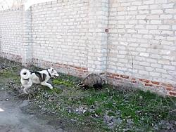 جنگ و نبرد دیدنی بین سگ و جوجه تیغی