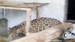 حمله حیوانات به شکارچیان: بوفالو، شیر، پلنگ، خرس و یوز