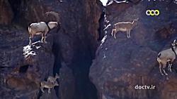 مستند طبیعت ایران- سیاه...