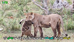 رفتار باورنکردنی شیر وحشی با شکار خود که به طور اتفاقی گرفته شده است
