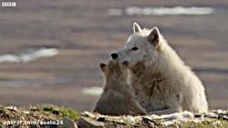 دسته ی گرگ ها در شکار خرگوش