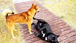 جنگ و نبرد سگ های وحشی
