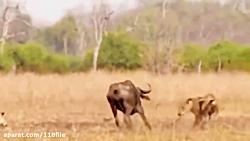 شکارچیان وحشی حیات وحش