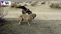 شکار جذاب غاز وحشی توسط عقاب
