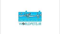 سگ هاسکی -  مجله دنیای ح...