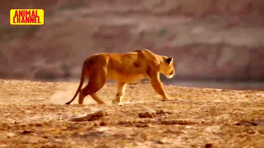 جنگ بین شیرها و کروکودیل بر سر تصاحب غذا. ( Lions and crocodiles )