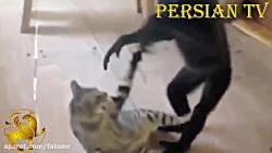 اذیت و آزار سگ ها و گربه ها توسط میمون ها