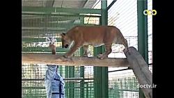 جفت گیری ببر نر و شیر ماده و تولد سه توله تایگون نادر در باغ وحش وکیل آباد مشهد