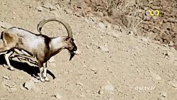 طبیعت حیات وحش ایران - سیاه کوه