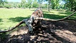 بلندترین شاخ در بین حیو...
