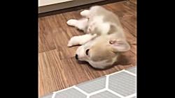 حیوانات بامزه: توله سگ های کوچولو و بامزه