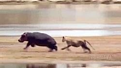 حیات وحش، حمله و نبرد شیرها با فیل