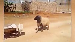 خنده دارترین کلیپ حیوا...