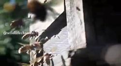 مستند حیات وحش این قسمت زنبور عسل سابسکرایز یادتون نره