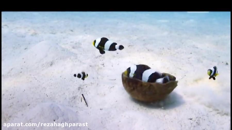 همکاری دلقک ماهی ها برای تخمریزی دلقک ماهی ماده