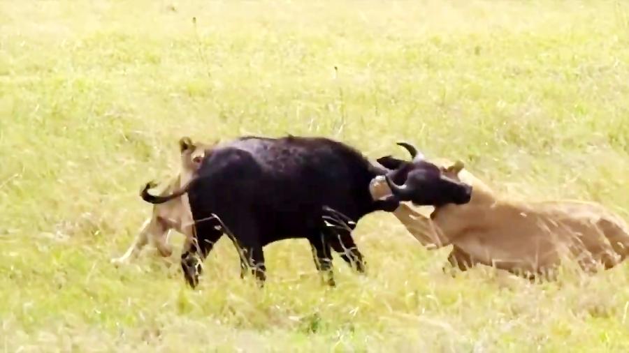 شکار بوفالوی جوان توسط شیر