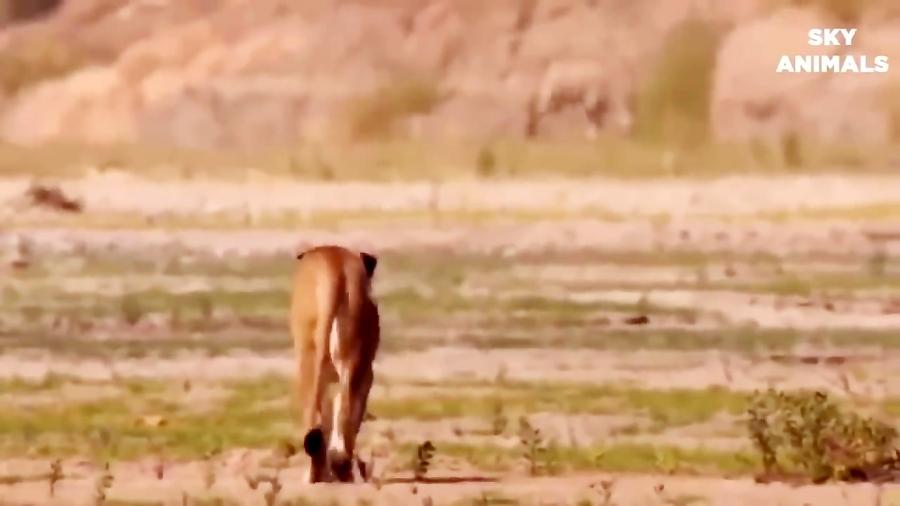 حمله و نبرد تماشایی شیر و بوفالو