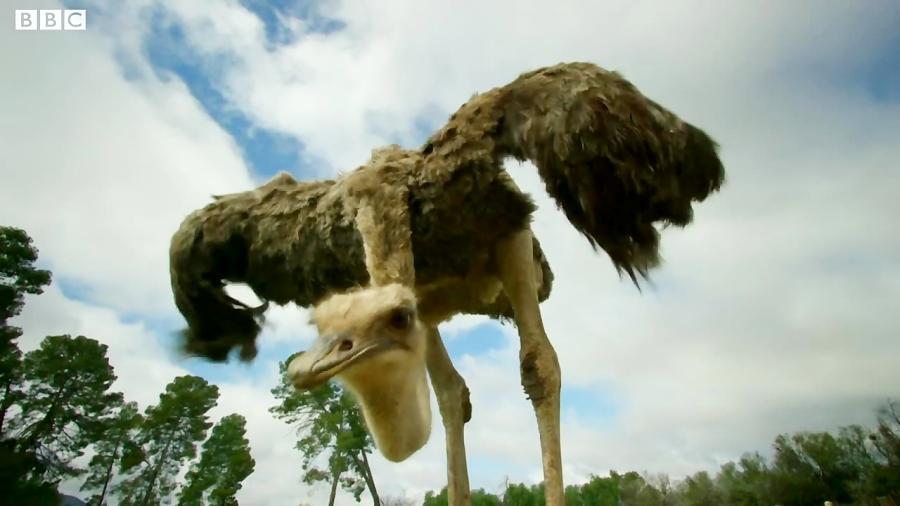 حمله جسورانه شترمرغ مادر به کفتارها