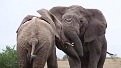 تصاویر کمتر دیده شده از نبرد فیل ها _ فیل مقابل فیل