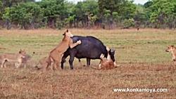 حمله و نبرد شیرهای گرسنه با بوفالو تنها