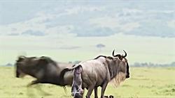 مستند حمله شیر ماده به بچه گاومیش
