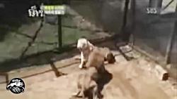 شیر در مقابل ببر که نبرد بقا است