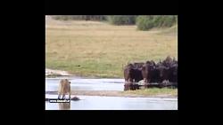 جنگ رو در روی یک ماده شیر و 20بوفالو کیپ..(محشره)