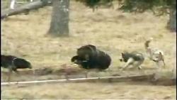 گرگ ها خرس  رو از سر شکارش فراری دادن